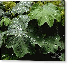 Acrylic Print featuring the photograph Dew On Leaves 2 by Tom Brickhouse