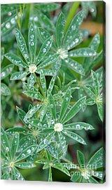 Dew On Leaves Acrylic Print