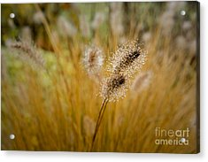 Dew On Ornamental Grass No. 4 Acrylic Print