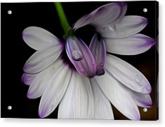 Acrylic Print featuring the digital art Dew On The Daisy by Timothy Hack