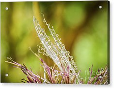 Dew On The Thistle Acrylic Print by Mitch Shindelbower