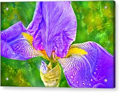 Dewey Iris Acrylic Print