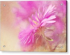 Dewy Pink Asters Acrylic Print by Lois Bryan