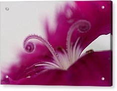 Dianthus Stamen Acrylic Print by Larry Trupp