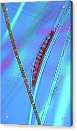 Diatom On Cyanobacteria Acrylic Print