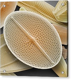 Diatom, Sem Acrylic Print by Power And Syred