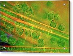 Diatoms And Spirogyra Algae Acrylic Print by Marek Mis