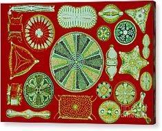 Diatoms-ernst Haeckel Acrylic Print by Scott Camazine