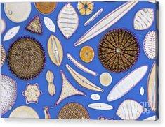 Diatoms Acrylic Print by Kent Wood