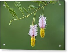 Dichrostachys Cinerea Flowers Acrylic Print by Science Photo Library