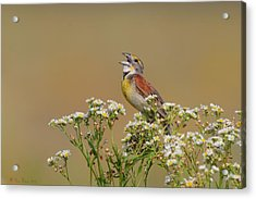 Acrylic Print featuring the photograph Dickcissel On Wild Daisies by Daniel Behm