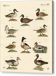 Different Kinds Of Ducks Acrylic Print by Splendid Art Prints