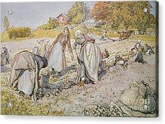 Digging Potatoes Acrylic Print