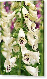 Digitalis Purpurea 'dalmatian Cream' Acrylic Print by Adrian Thomas
