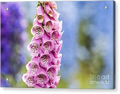 Digitalis Purpurea Foxglove Acrylic Print by Tim Gainey