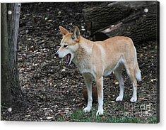 Dingo #2 Acrylic Print