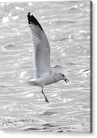 Acrylic Print featuring the photograph Dining Seagull by Anita Oakley