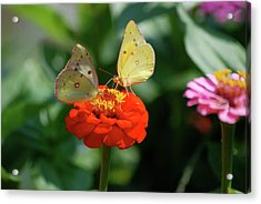 Acrylic Print featuring the photograph Dinner Table For Two Butterflies by Thomas Woolworth