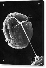 Dinoflagellate Acrylic Print by David M. Phillips