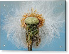 Disheveled Acrylic Print by Frozen in Time Fine Art Photography