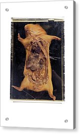 Dissected Guinea Pig Acrylic Print