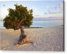 Divi Divi Tree Of Aruba Acrylic Print by David Letts