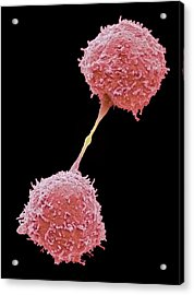 Dividing Lymphocytes Acrylic Print