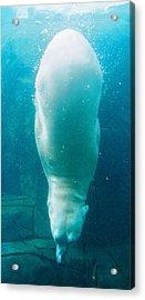 Diving Bear Acrylic Print