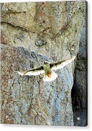 Diving Falcon Acrylic Print