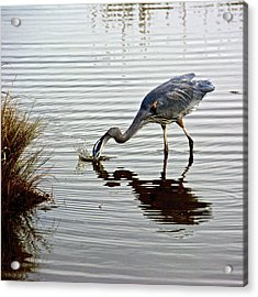 Diving For Food Acrylic Print by Kathi Isserman