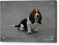 Dixie Big Paws Long Ears Acrylic Print by D Wallace