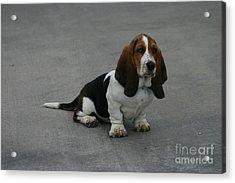 Dixie Big Paws Long Ears Acrylic Print