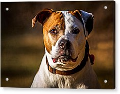 Dixie Doodle The Pit Bull Acrylic Print by Eleanor Abramson