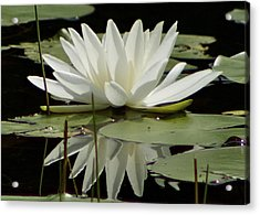 Acrylic Print featuring the photograph Dockside Lily by Alice Mainville