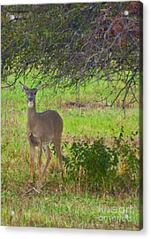 Doe A Deer Acrylic Print