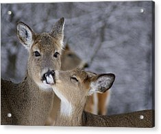 Doe And Fawn Acrylic Print by Larry Bohlin