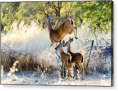 Doe And Fawns... Acrylic Print