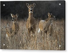 Doe And Yearlings Acrylic Print