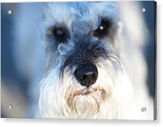 Dog 2 Acrylic Print by Wingsdomain Art and Photography