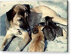 Dog Adopts Kittens Acrylic Print by Lanjee Chee