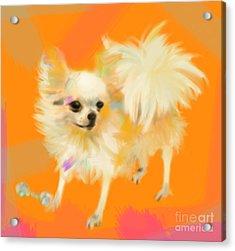 Dog Chihuahua Orange Acrylic Print