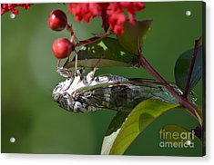 Dog Day Cicada Acrylic Print by Kathy Gibbons