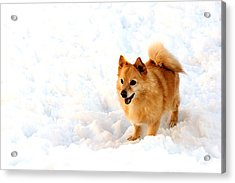 Dog In Snow Acrylic Print