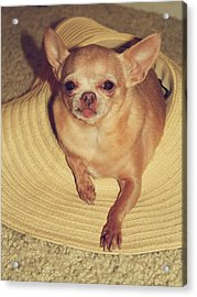 Dog In The Hat Acrylic Print by Laurie Search