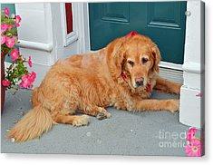 Dog In Waiting Acrylic Print by Eva Kaufman