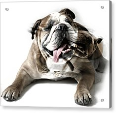 Dog Mastiff Acrylic Print by Evgeniy Lankin