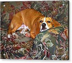 Dog - Mr. Oliver Is Comfy Acrylic Print by Maureen Tillman