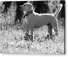 Dog On Guard Acrylic Print by Kathleen Struckle