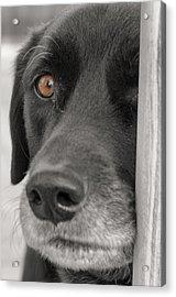Dog Peek A Boo Acrylic Print