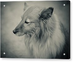 Lonely Dog Acrylic Print by Pro Shutterblade